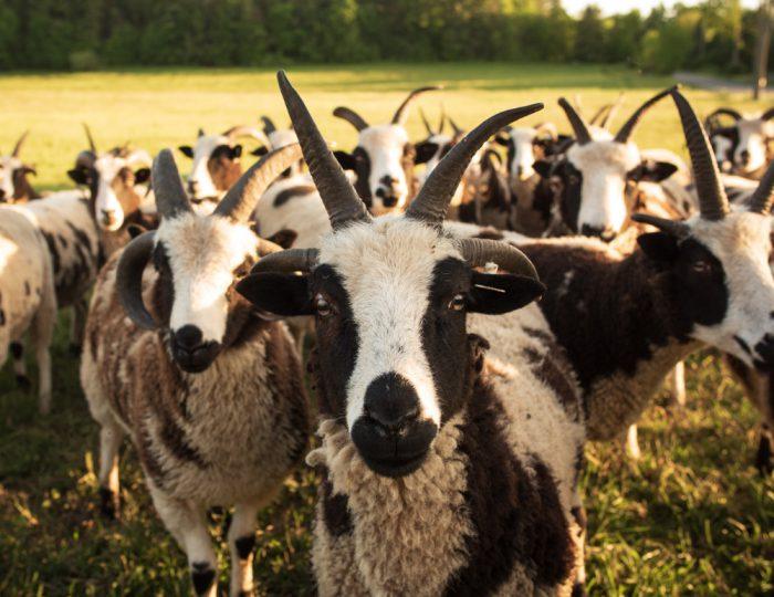 Barton Hill Jacobs (CeCe's Wool)